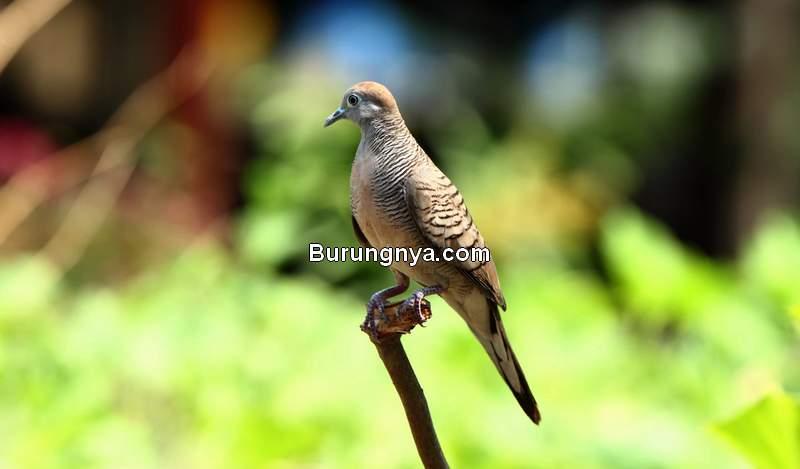 Asal usul Perkutut dan Sejarah Perkutut Majapahit (azbirds.com)