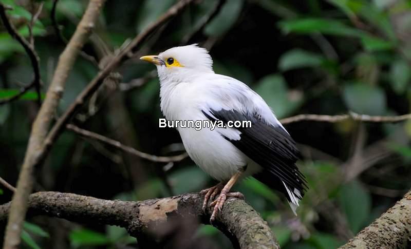 Burung Jalak Putih (vogelspeciallclub.nl)