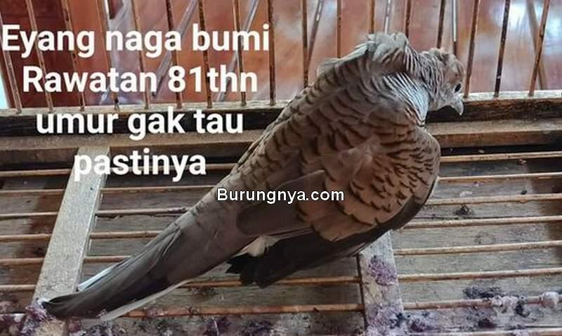 Burung Perkutut Tindih yang Sudah Berusia 81 Tahun (facebook.com)