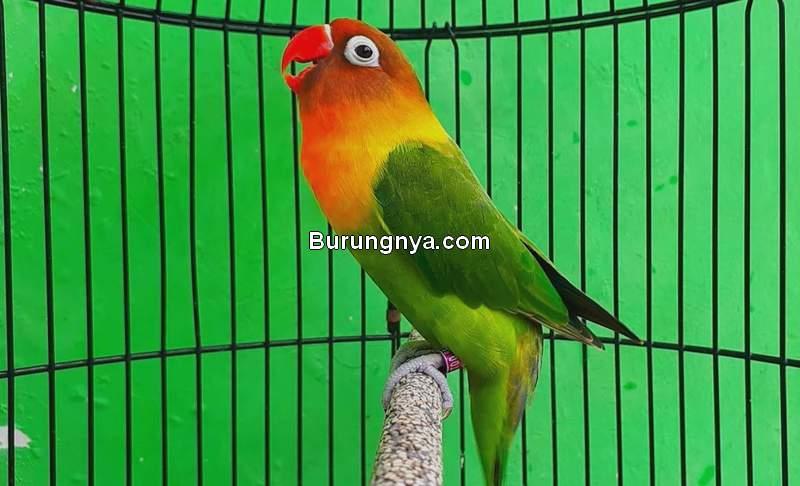 Cara Menambah Durasi Ngekek Lovebird 30 Detik (youtube.com)