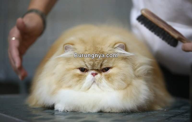 Cara Merawat Kucing Persia agar Sehat (popsugar.com)