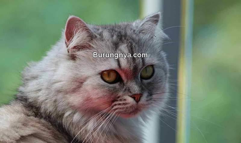 Cara Merawat Kucing Persia yang Benar (epicpetclub.com)