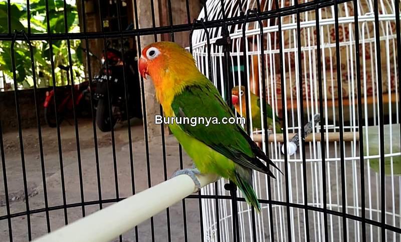 Cara Tambah Durasi Ngekek Lovebird 30 Detik (youtube.com)