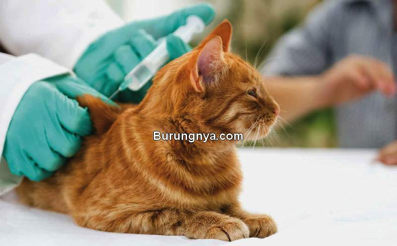 Jenis Vaksin Kucing dan Harga (vetvoice.com.au)