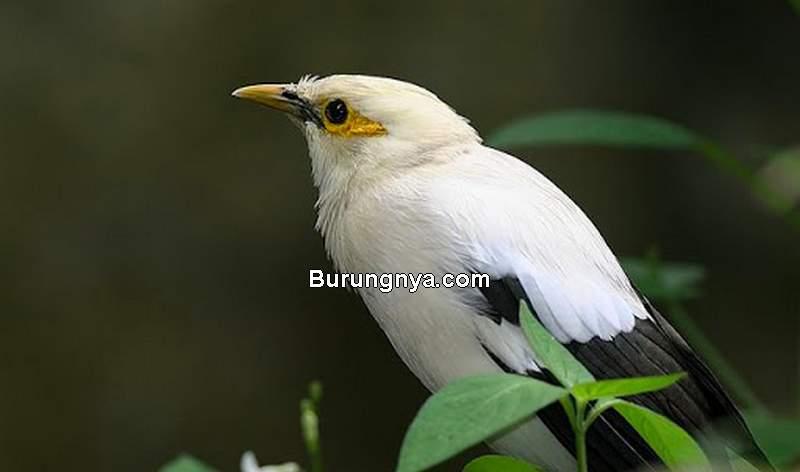 Kelebihan Burung Jalak Putih (orientalbirdimages.org)