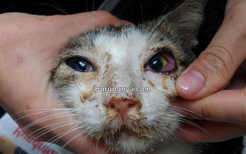 Kucing Sakit Mata Merah Bengkak Berair (care4catsibiza.org)