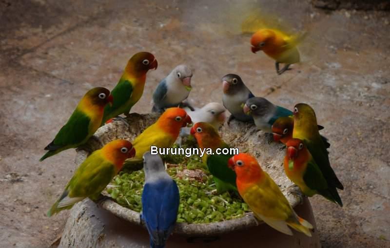Lovebird Konslet dengan Bawang Putih (gentlemansbrand.co)