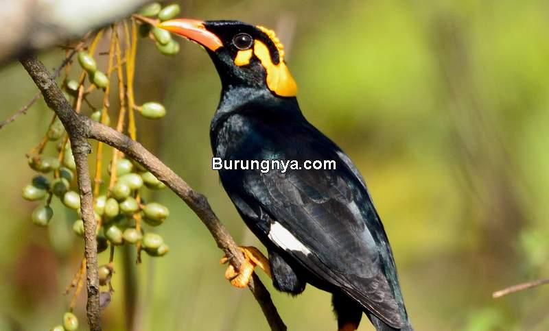 Makanan Burung Beo Biar Cepat Bicara (ebird.org)