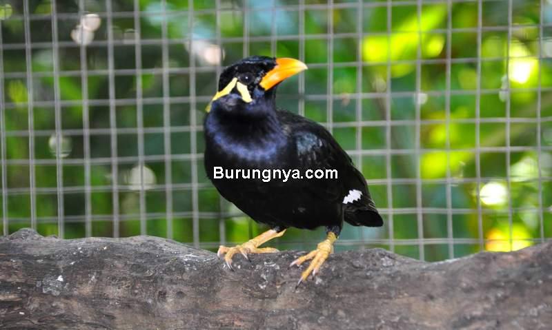 Makanan Burung Beo (zoochat.com)