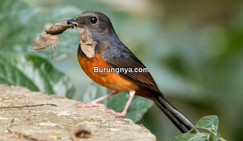 Makanan Murai Batu Terbaik (ebird.org)