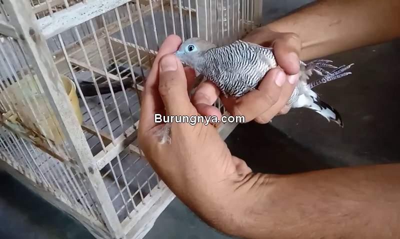 Mimpi Diberi Burung Perkutut (cyberspaceandtime.com)