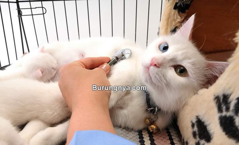 Obat Kucing Sakit Mencret, Diare, Muntah, Sulit Pipis, dan Pilek (hillspet.com)