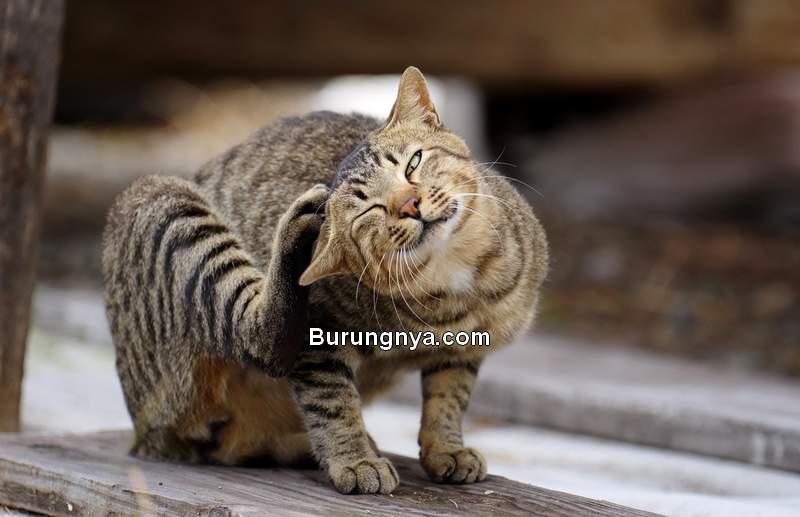 Obat Kutu Kucing (forevervets.com)