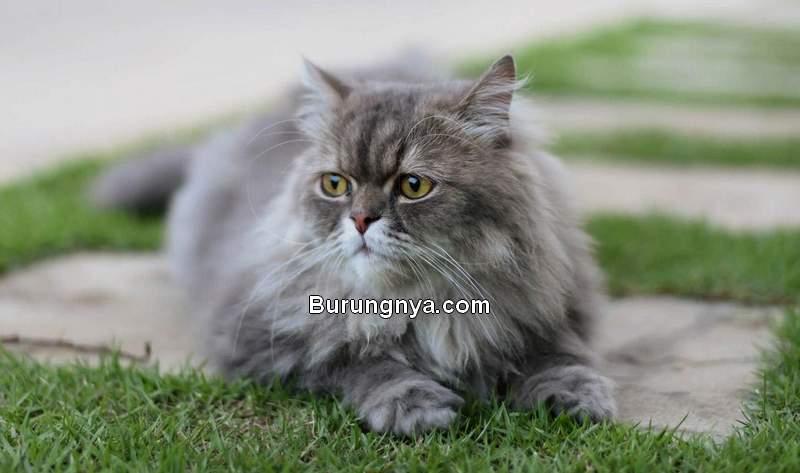 Perawatan Kucing Persia (megainteresting.com)