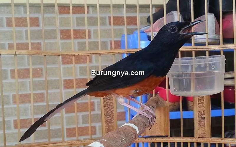 Tips Agar Burung Rajin Bunyi Jangan Sampai Burung Kenyang (kicaucicicuit.com)
