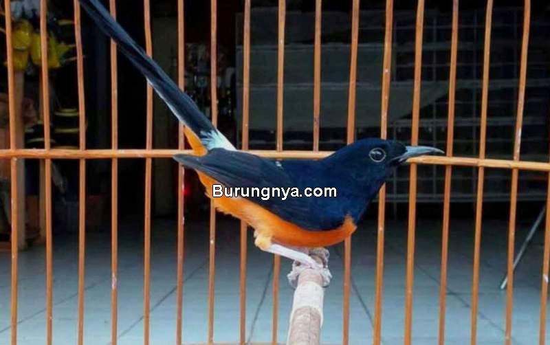 Tips Burung Kicau Rajin Bunyi Pakan Diambil Sebelum Kenyang (rimbakita.com)