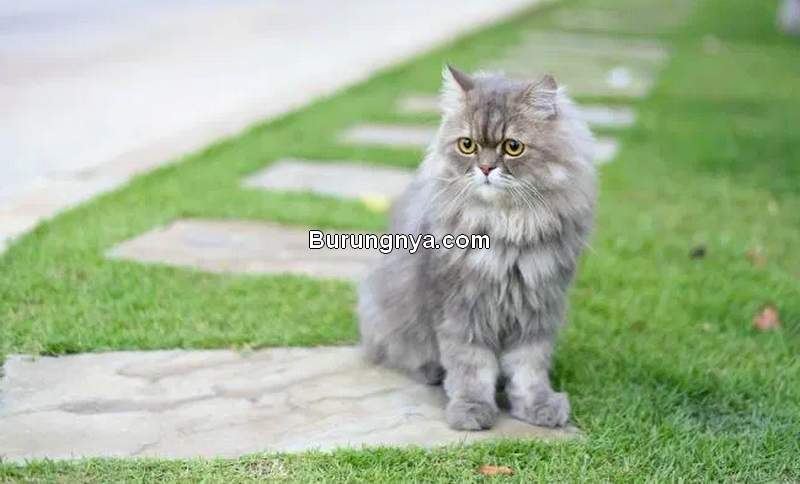 Tips Merawat Kucing Persia (pawversity.com)