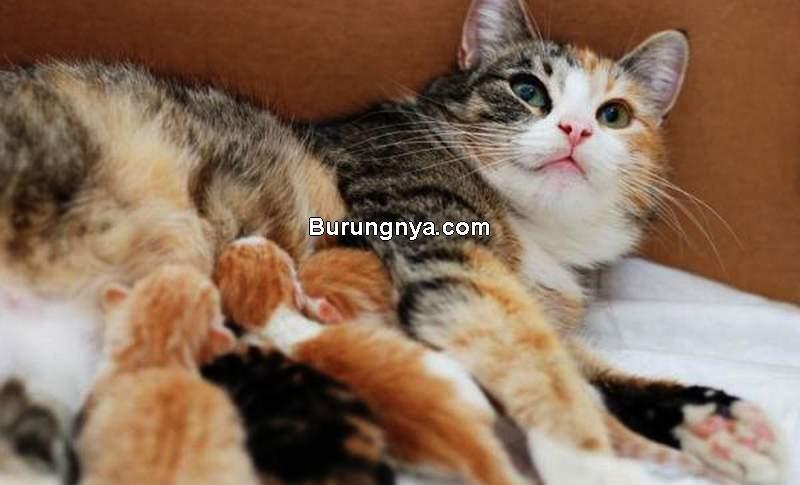 Cara Memberikan Makan Kucing Hamil (animalwised.com)