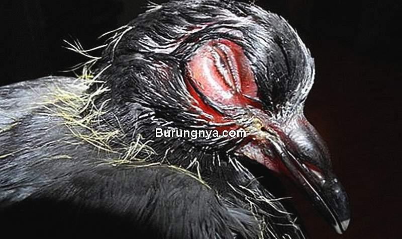 Ciri Penyakit Ornithosis pada Merpati (farmforage.com)