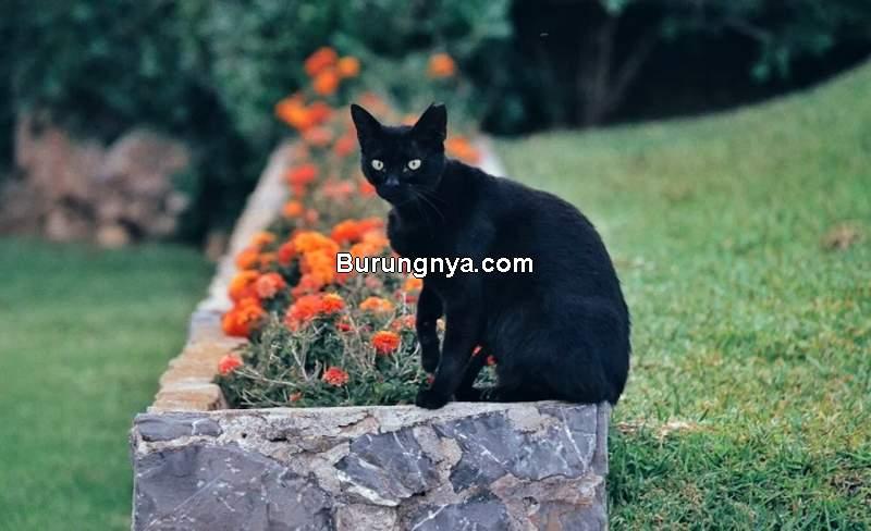 Fakta Kucing Hitam dan Mitos Kucing Hitam (cattime.com)