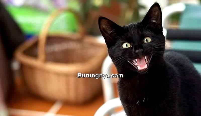 Fakta dan Mitos Kucing Hitam (fox10tv.com)
