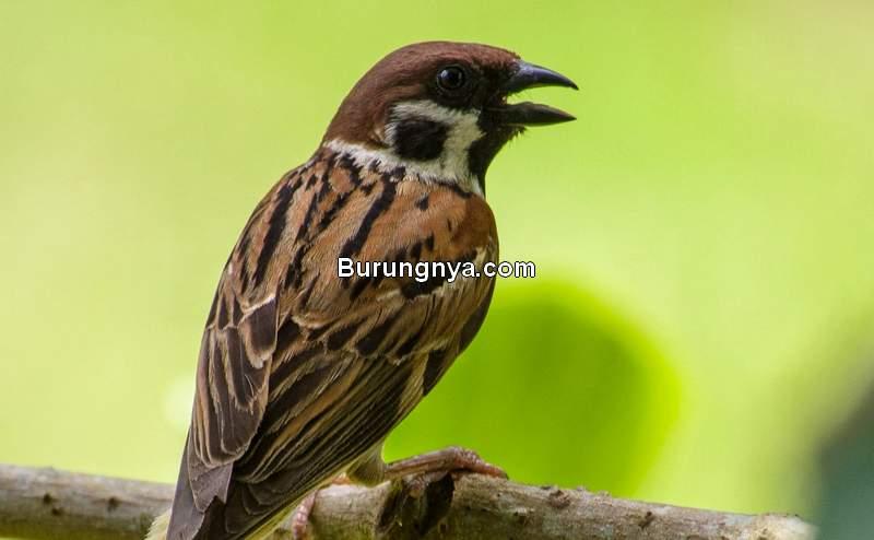 Makanan Burung Gereja (bubobirding.com)