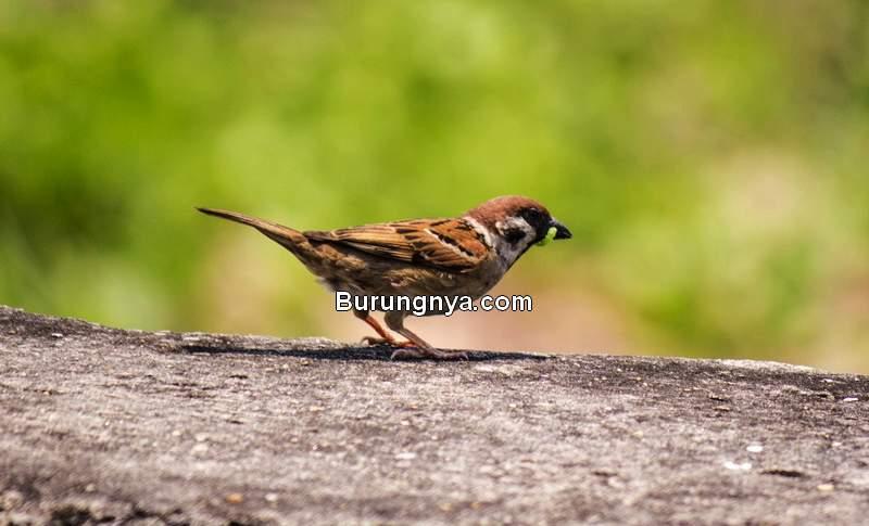 Makanan Burung Gereja dan Cara Merawat (zoochat.com)