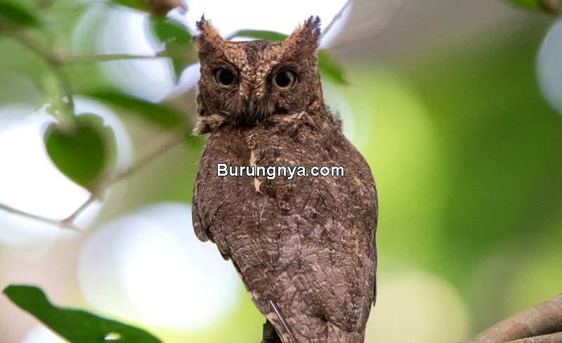 Makanan Burung Hantu Celepuk (ebird.org)