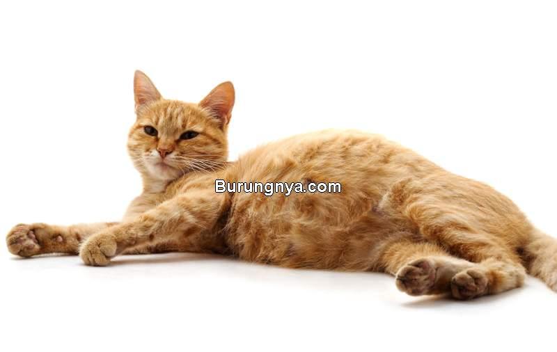 Merek Makanan Kucing Hamil (medicanimal.com)