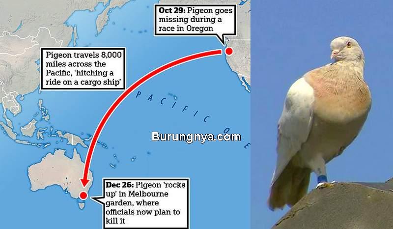 Merpati Joe Terbang dari Amerika Serikat ke Australia Sejauh 13.000 km Disuntik Mati (daylimail.co.uk