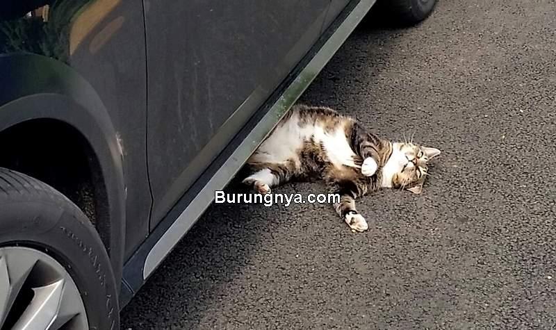 Mitos Menabrak Kucing (twitter.com)