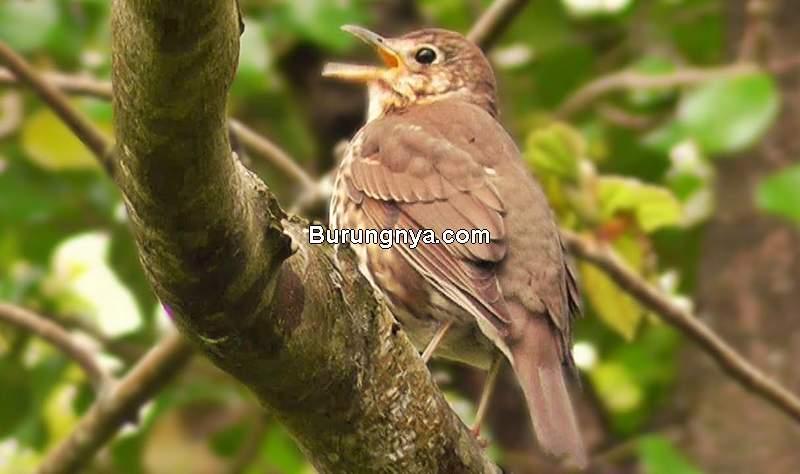 Penelitian Dengar Suara Burung Bikin Bahagia dan Sehat (youtube.com)
