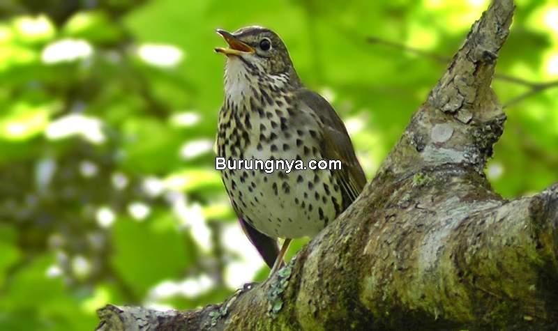 Penelitian Mendengar Suara Burung (youtube.com)