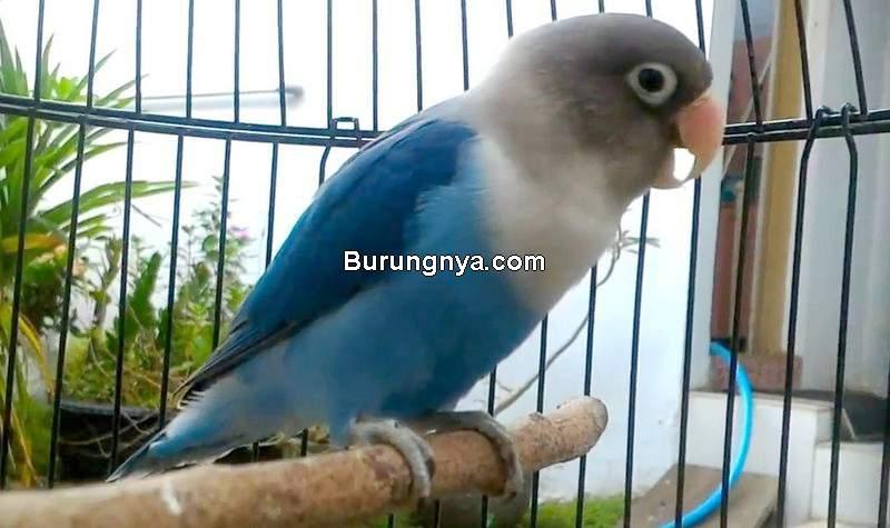 Setingan Lovebird Skyblue di Ruangan Gelap dan Sejuk (burungnya.com)
