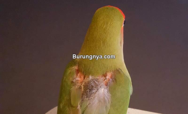 Tips Mengatasi Burung Mabung atau Ngurak (birbsonbirds.tumblr.com)