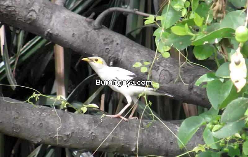 Burung Jalak Putih (headtopics.com)