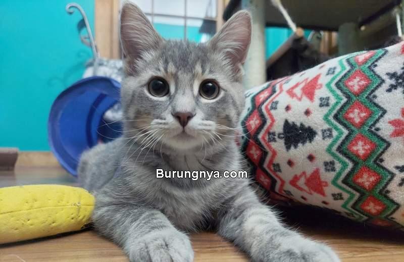 Cara Merawat Kucing Persia Medium (purebredcatrescue.org)