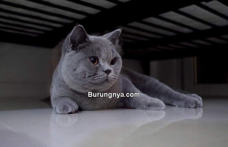 Ciri Kucing British (youtube.com)