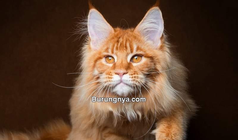 Harga Kucing Anggora dan Ciri-cirinya (10wallpaper.com)