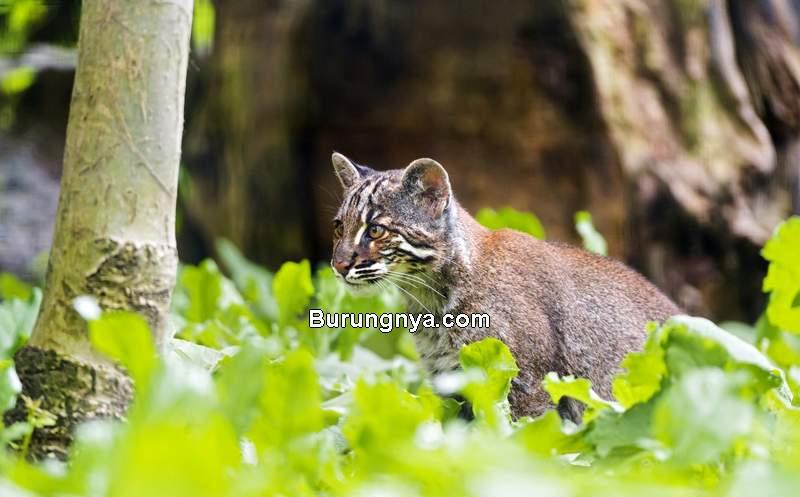 Jenis Kucing Hutan (owlcation.com)