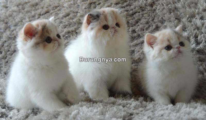 Jenis Kucing Persia Medium (touchme-team.com)