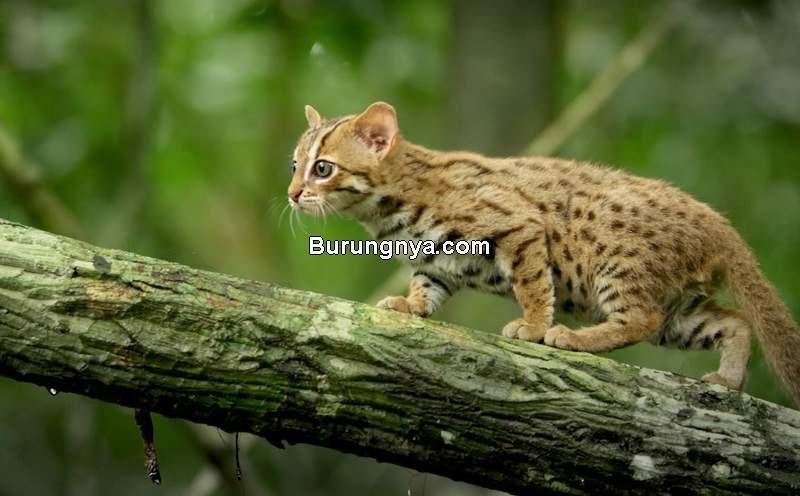 Jenis Kucing Terkecil di Dunia (pbslearningmedia.org)