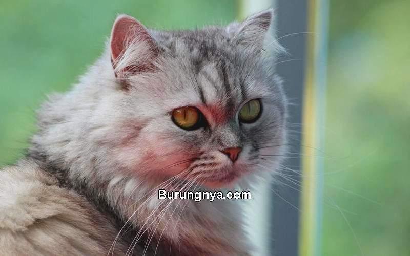 Jenis dan Harga Kucing Persia Terbaru (barakaldotiendaveterinaria.es)