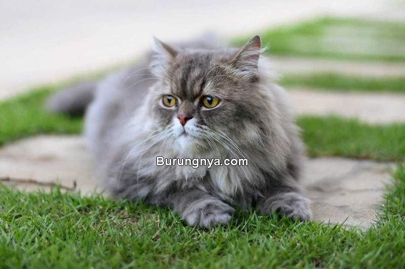 Jenis dan Harga Kucing Persia (megainteresting.com)