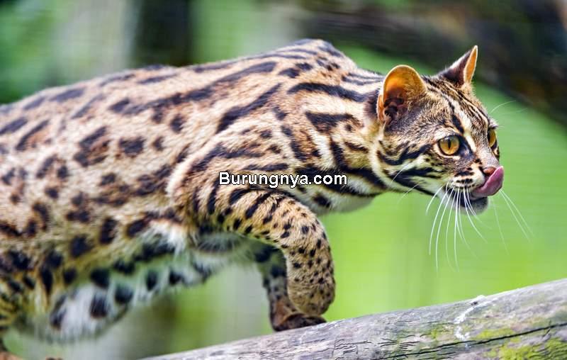 Kucing Bengal (pethelpful.com)