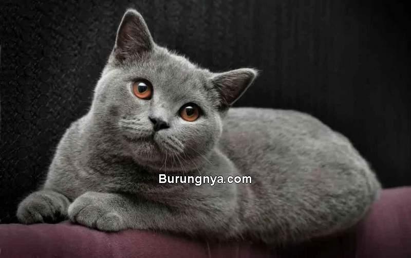 Kucing British Shorthair (petsfeed.co)