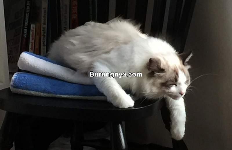 Kucing Lemas Tidak Mau Makan (pinterest.com)