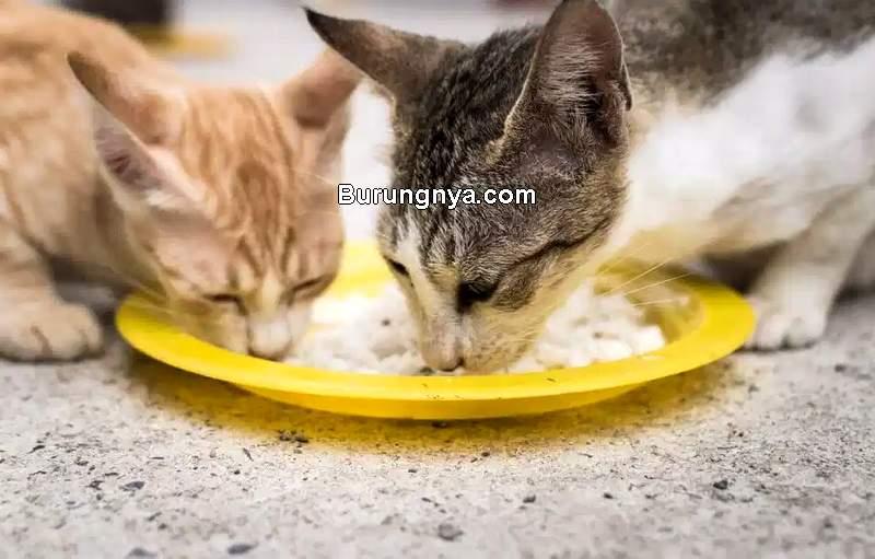 Kucing Makan Nasi (felineliving.net)