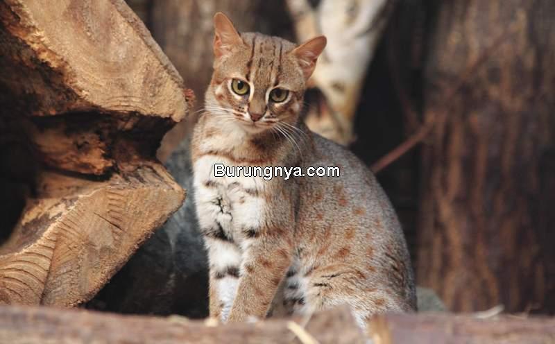 Kucing Paling Kecil di Dunia (flighttowonder.com)