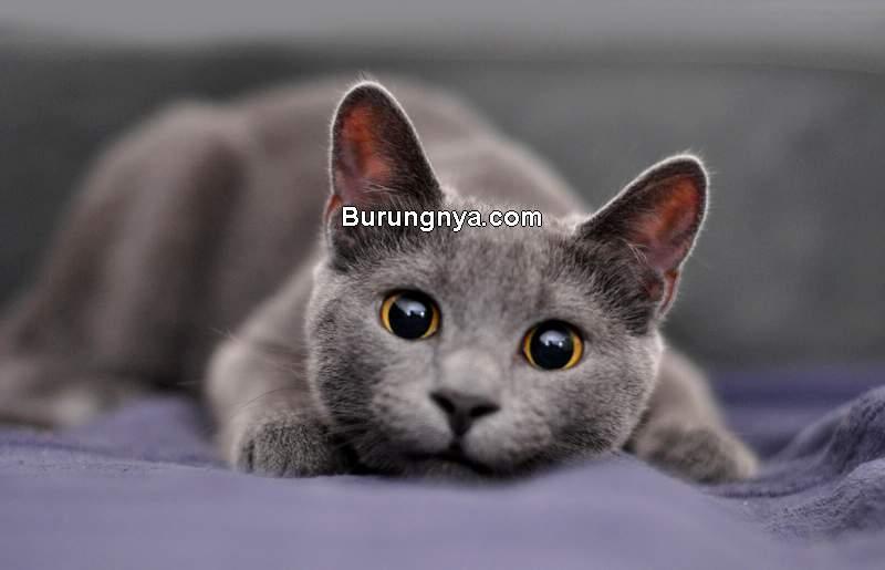 Kucing Persia Medium (lovetoknow.com)
